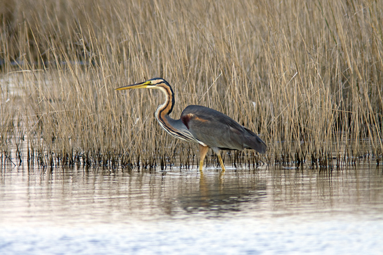 Fauna del Veneto, Airone rosso (Ardea purpurea).